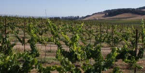 A wine vineyard in Sonoma County, the center of the state's largest wine region. Photo courtesy of Patricia Snider.