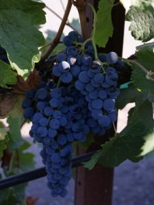 A grape cluster in Sonoma County.